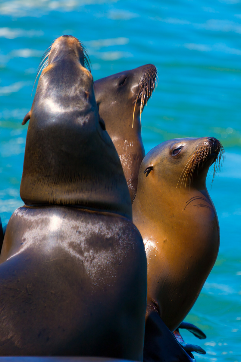 sea lions san francisco.png